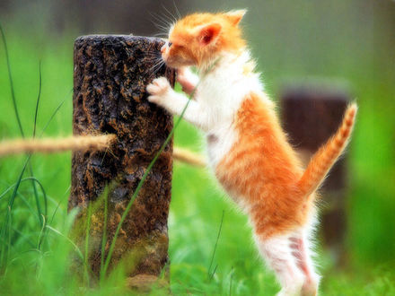 Обои Маленький бело-рыжий котенок карабкается на столбик в зеленой траве