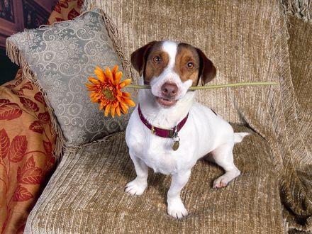 Обои Пёс с цветочком