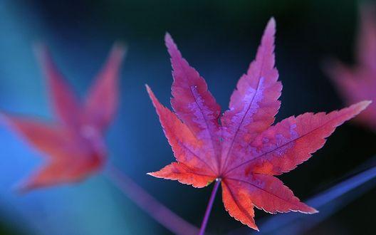 Обои Красные лисьтя