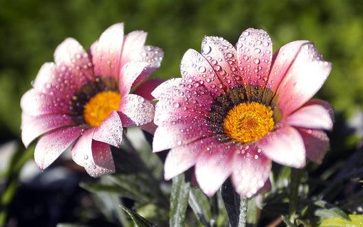 Обои Розовые цветы