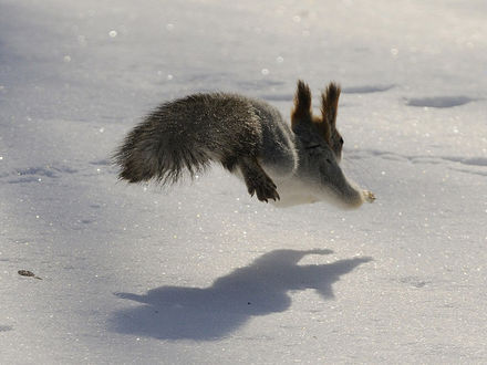 Обои Белка прыгает по снегу