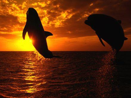 Обои Прыгающие дельфины на закате