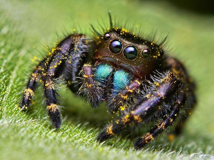 Обои Боливийский паук-скакун в макро съемке