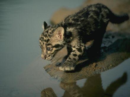 Обои Детенышь леопарда