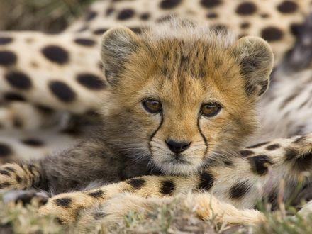Обои Маленький гепард