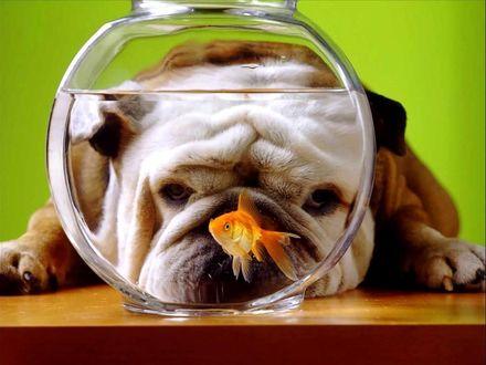 Обои Бульдог и золотая рыбка