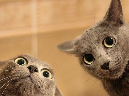 Обои Удивленные коты