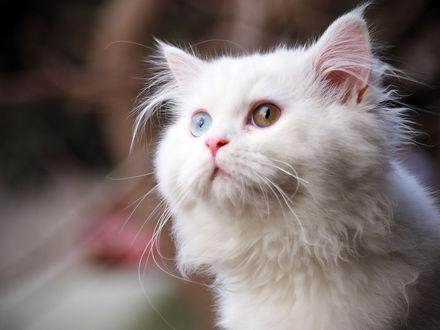Обои Белый кот с разноцветными глазами