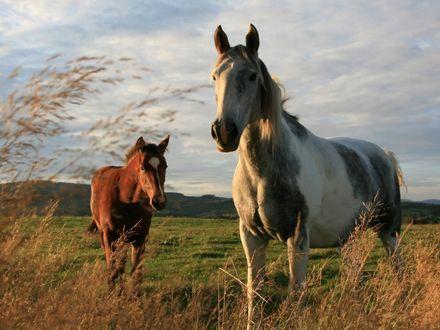 Обои Кобыла с жеребёнком на поле