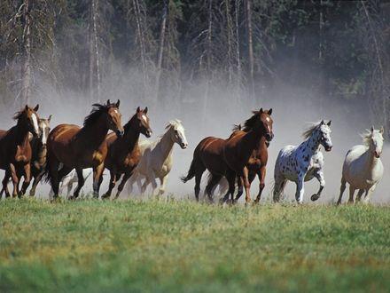 Обои Табун лошадей