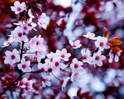 Обои Цветущая вишня