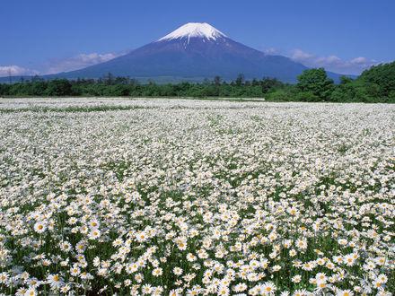 Обои Огромное поле ромашек у подножья горы