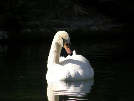Обои Лебедь