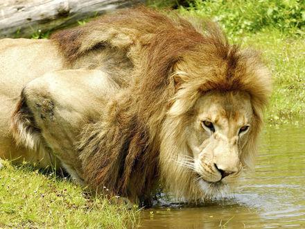 Обои Лев на водопое