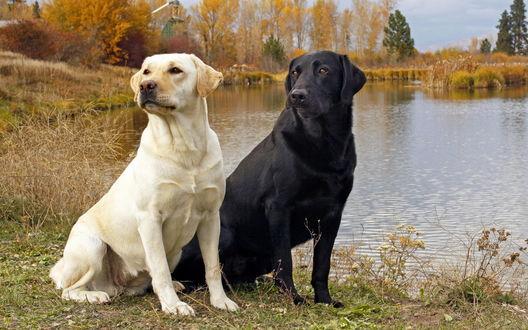 Обои Пара лабрадоров возле воды