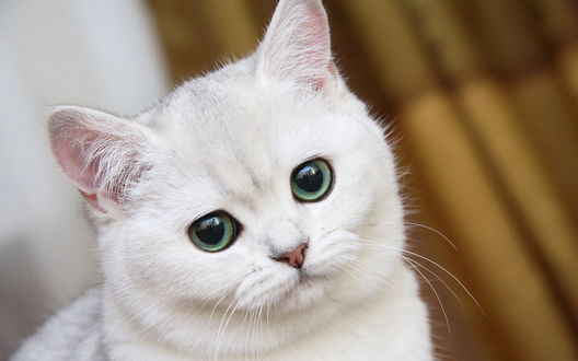 Обои Белый кот с красивыми глазами