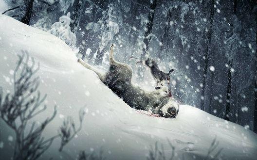 Обои Жестокая схватка в заснеженном лесу: Заяц напал на волка