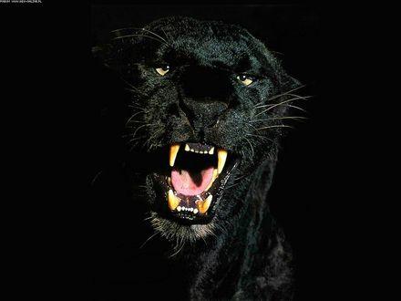Обои Чёрная пантера