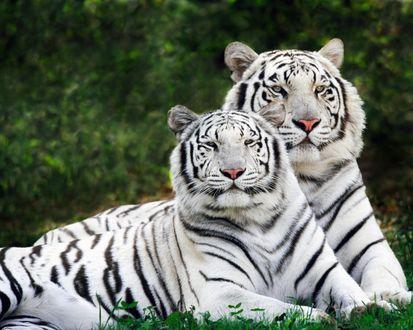 Обои Пара редких белых тигров