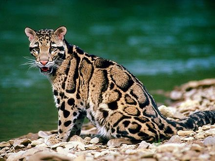 Обои Леопард у воды