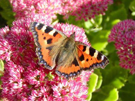 Обои Бабочка - крапивница сидит на розовом цветке