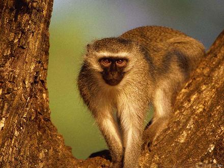 Обои Симпатичная обезьянка на дереве