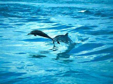 Обои Дельфины в прыжке