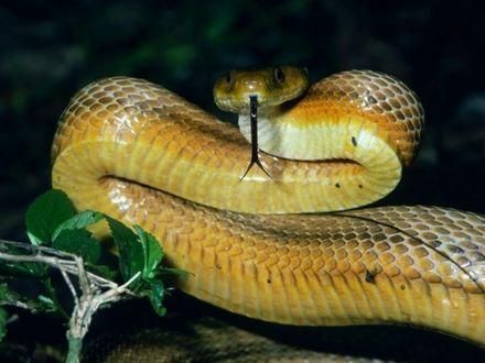 Обои Змея высунула язык