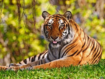 Обои Бенгальский тигр отдыхает на траве