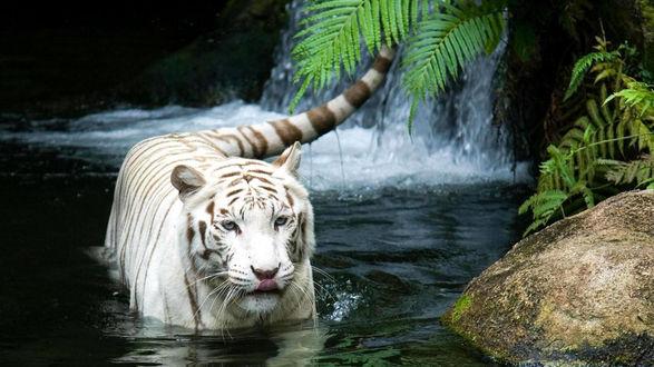 Обои Белый купается тигр у водопада