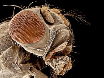 Обои Крупным планом голова плодовой мухи