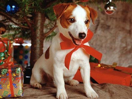 Обои Новогодний щенок с красным бантом на шее. Подарки