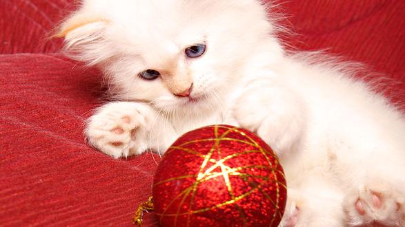 Обои Белый пушистый котёнок играет с новогодней ёлочной игрушкой