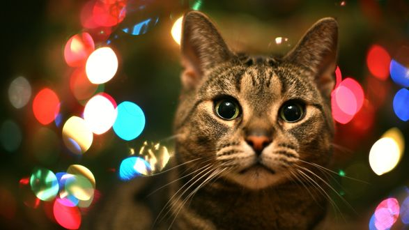 Обои Кот на фоне огней ёлочных гирлянд, скоро его год