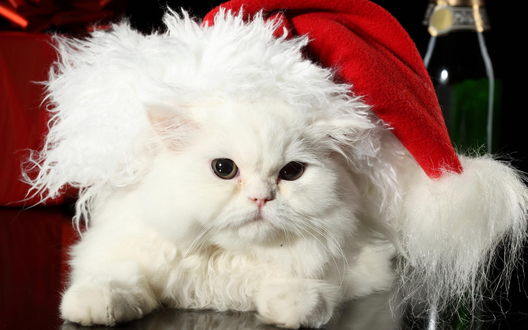 Обои Белый кот в новогодней шапке