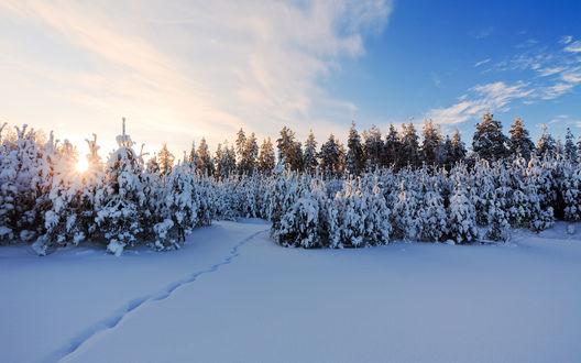 Обои Рассвет в зимнем лесу