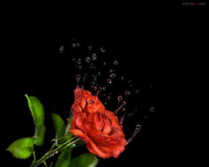 Обои Роза с каплями воды