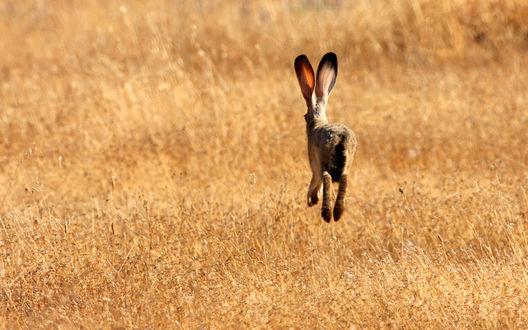 Обои Заяц в прыжке, в сухом жёлтом поле
