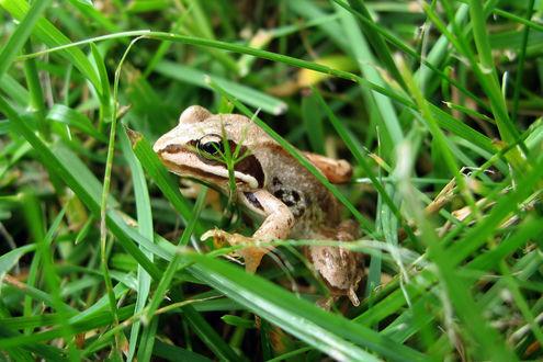 Обои Лягушка в траве