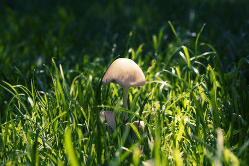 Обои Одинокая поганка среди молоденькой зелёной травы