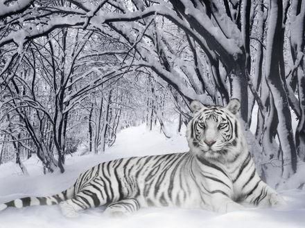 Обои Белый тигр среди снежного леса