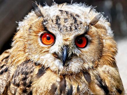 Обои Сова с красными глазами