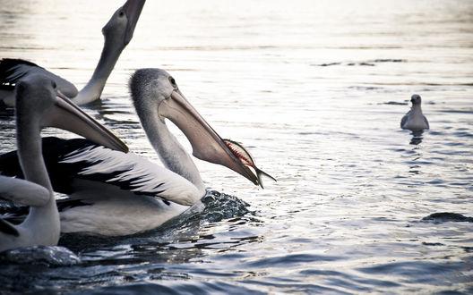 Обои Пеликан ест рыбу