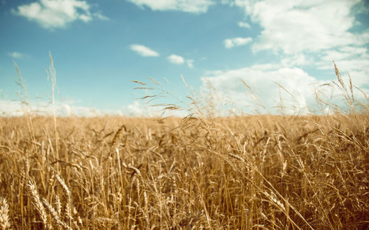 Обои Пшеница под ярким голубым небом