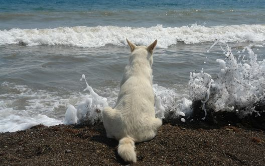 Обои Белая собака наблюдает за всплесками пенистых волн