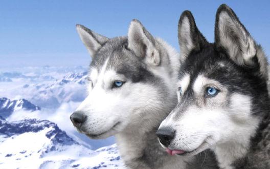 Обои Волки на фоне гор