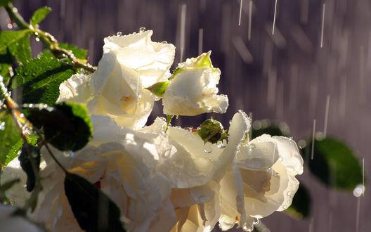 Обои Розы под дождем