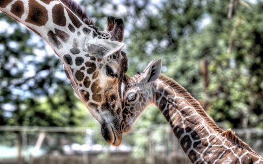 Обои Жираф и жирафёнок.. грустные какие-то...