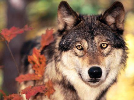 Обои Волк пробирается сквозь кусты