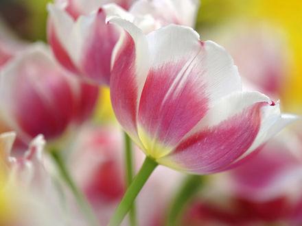 Обои Розово-белые тюльпаны
